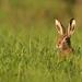 zajac polný