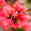 Kvet Anjela