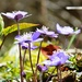 horske kvety