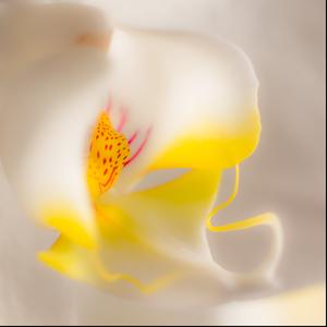 Manzelkina orchidea
