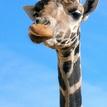 Melman z Madagascaru...