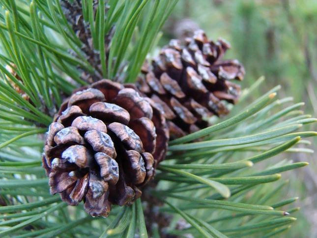 """Preložiť slovo """"Macedonian pine Pinus peuce"""" z angličtiny do slovenčiny."""