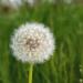 Jarná púpava