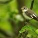 Muchárik bielokrký - samica