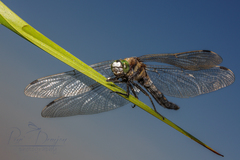 Vážka ploská