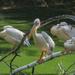 prípad pelikán