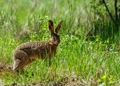 spotený zajac