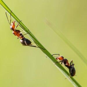 mravčeky