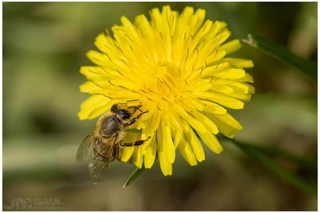 Včela na púpave