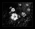 Biely kvet  II