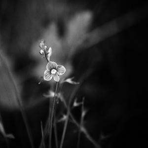 Modrý  kvet
