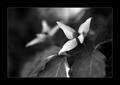 Biely kvet III