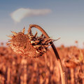 Sklonená slnečnica
