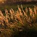 sláva-poľná tráva