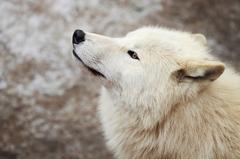 arktický