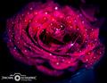 orosená ruža
