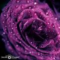 ruža fialová