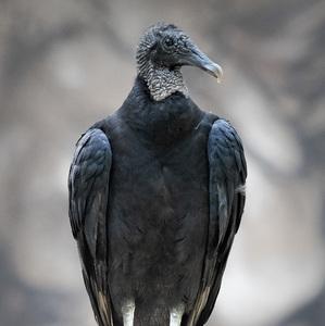 Kondor krkavcovitý