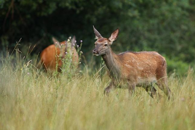 Jelenča s mamkou