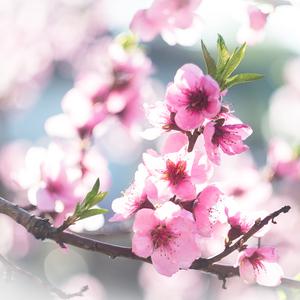 broskyňové kvety