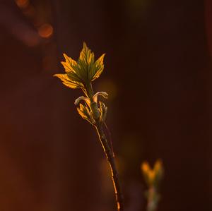 pučiaci strom
