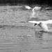 vodné baletky