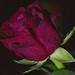 ruža pre milú