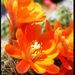 Kaktusový kvet