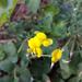zlty kvet