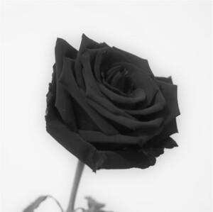 Blasck rose