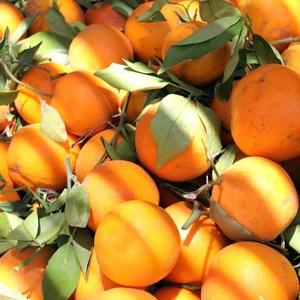 Pomaranče v Rissani