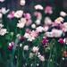 kvetinky