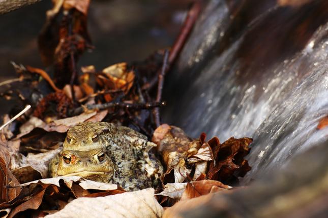 sedia žaby na prameni ...