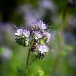 Včielka hoduje