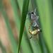 vážky černořitné