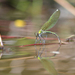 Motýlice lesklá-kladení