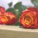 Ruže II