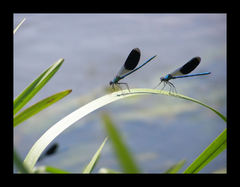 Vážky v akcii.