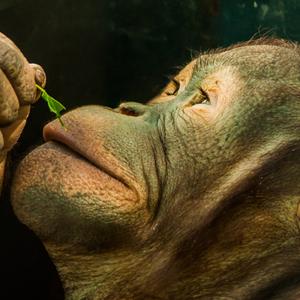 Orangutan teenager 2