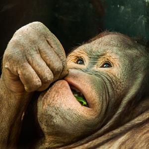 Orangutan teenager