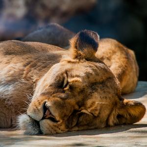 Levia siesta