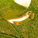 Husenicka na živom plote