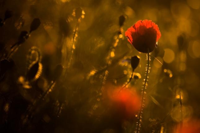 Červený pán a nie tulipán