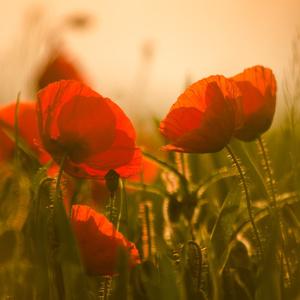 Krásavice v červenom