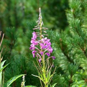 Tatranské kvety