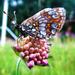 Mňamka pre motýľa