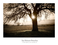 sun between branches