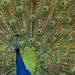 Peacock [Pavo cristatus]