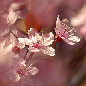 keď kvitla sakura