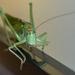 Zamyslená Tettigonia viridissima